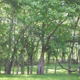 Alcove of trees near barn.